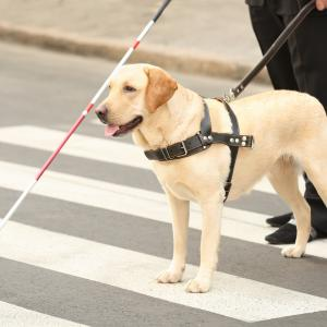 Guide Dog Helping Man Across the Street